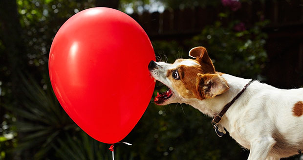 Fastest time to pop 100 balloons by a dog previous record holder