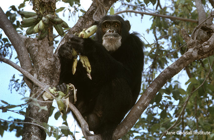 David Greybeard, the first chimp that Jane observed using tools to capture termites