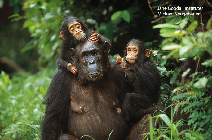 Having turned 20 years old in 2018, Golden and Glitter are the oldest known chimpanzee twins ever documented. They are pictured here as juveniles with their mother, Gremlin.