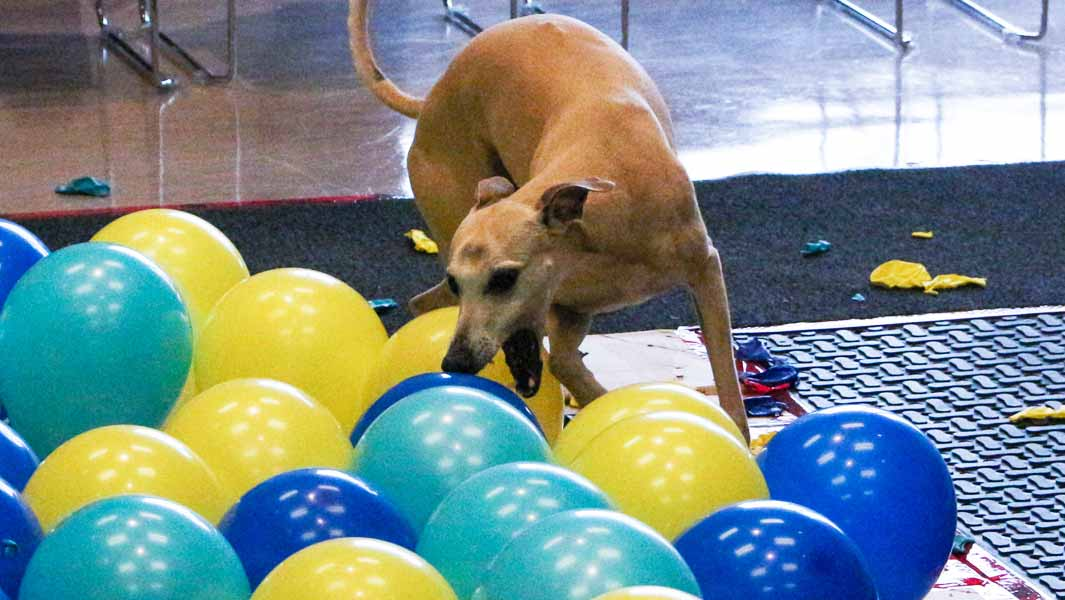fastest time to pop 100 balloons by a dog header