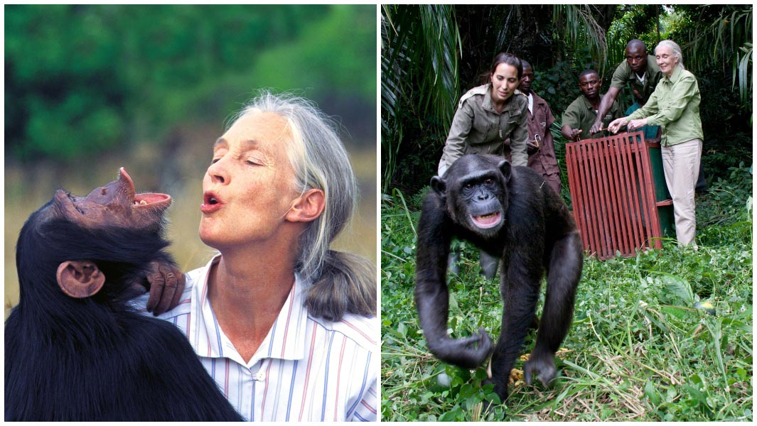 Jane Goodall chimps collage Guinness World Records