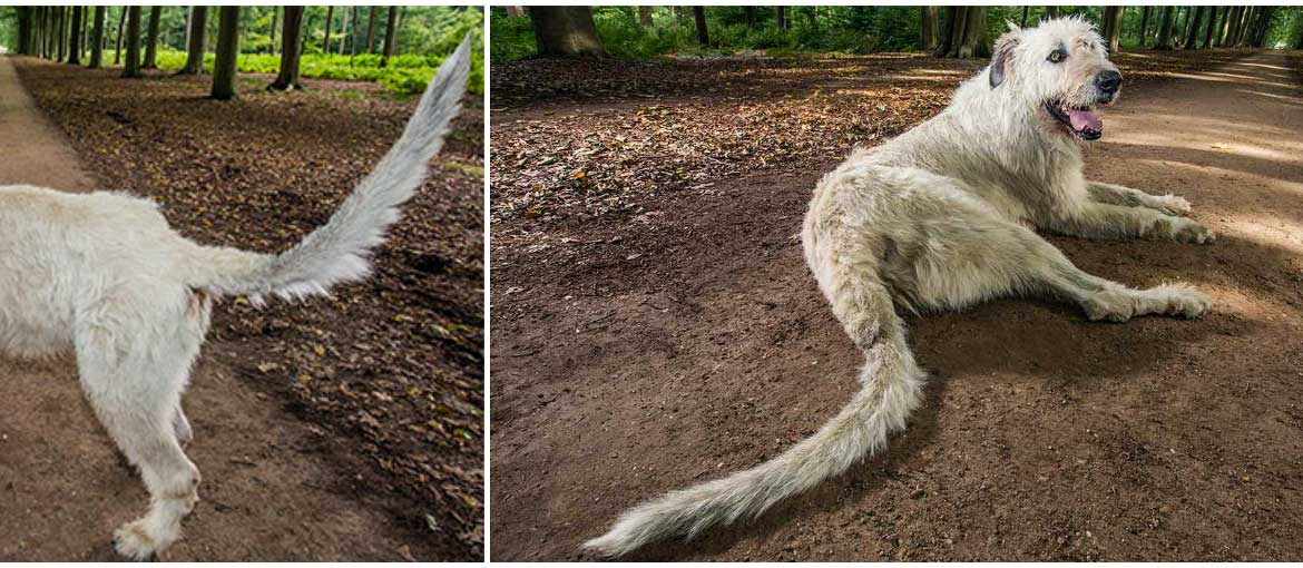 hero-longest-tail-on-dog