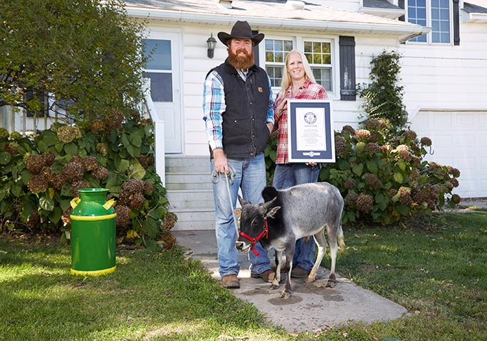 The Gardners receive an official GWR certificate confirming Humphrey as the world's shortest bull
