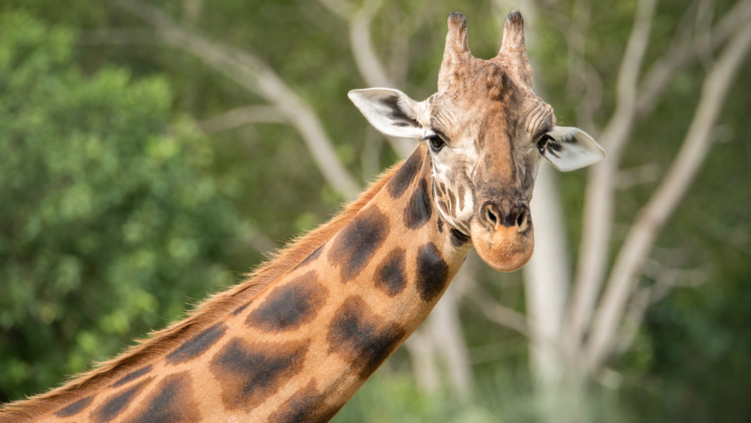 close-up-of-Forest-the-Worlds-Tallest-Living-Giraffe